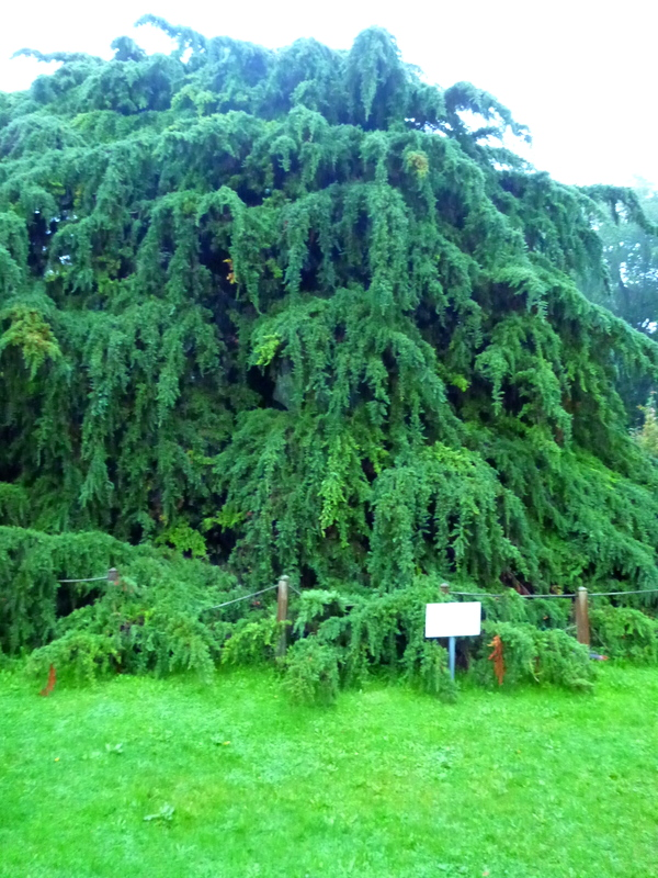 Giant Tree at Avoca's Sugar Tree Cafe, Kilmacanogue
