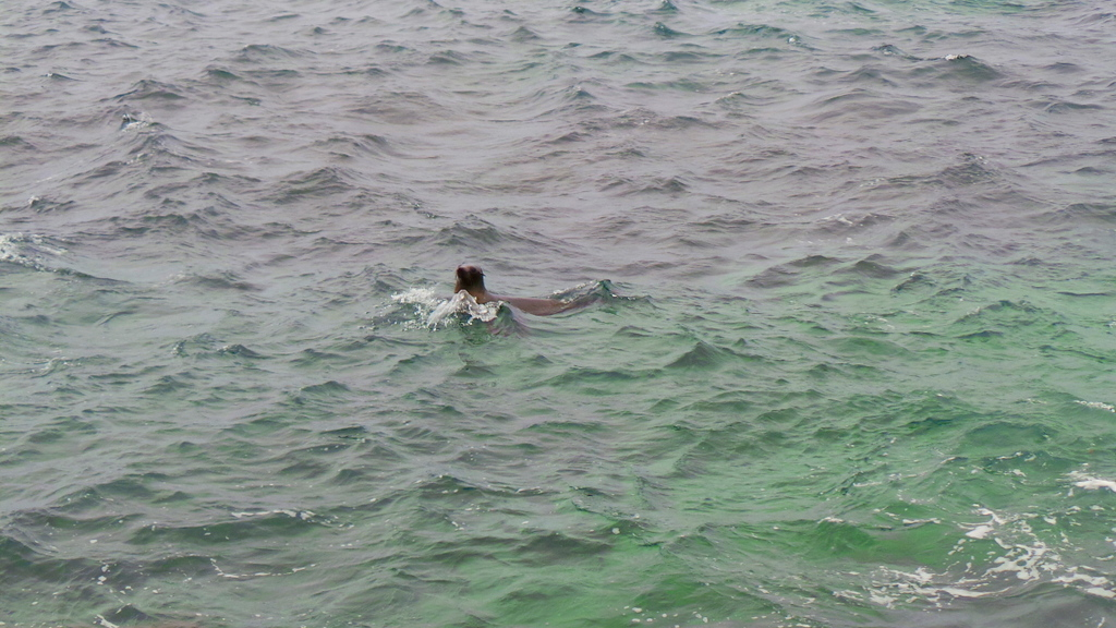 A seal approaching. Cathedral Rocks. Rottnest Island