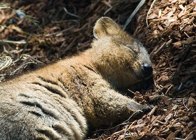 A sleeping Quokka in Rottnest Island