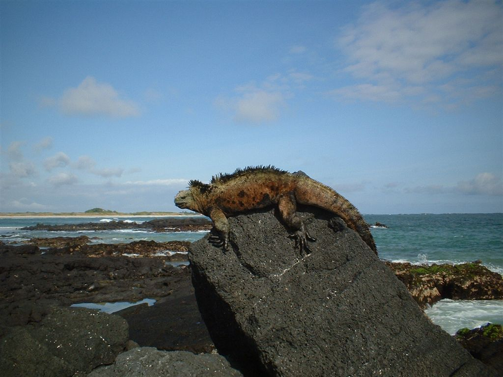 An iguana in Galapagos Island. Photo from Wikipedia