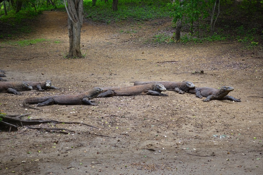 Komodo Dragons in Flores, Indonesia.