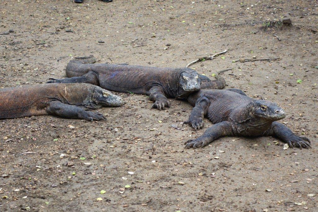 Komodo Dragons at Rinca Island in Komodo National Park