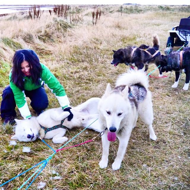 I've never met a dog who is not crazy about tummy rubs! Greenland huskies in Iceland