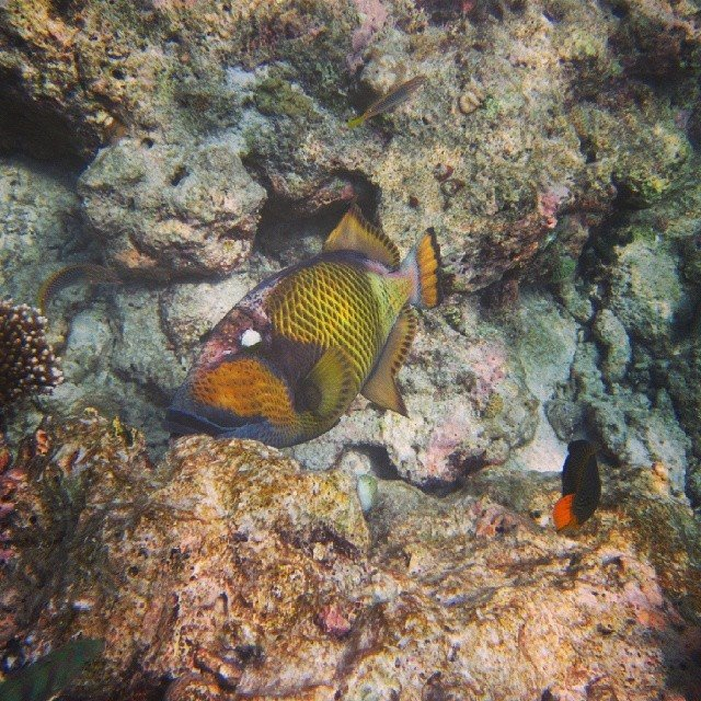 triggerfish in the Maldives