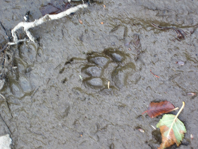 a fresh paw print in yellowstone