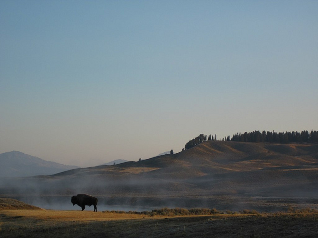 a lone bison in yellowstone. Early morning