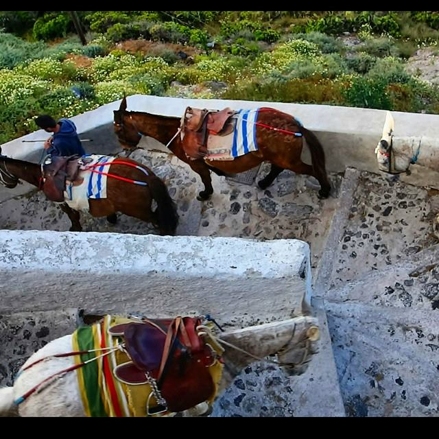 donkeys and mules getting ready for a full day's work