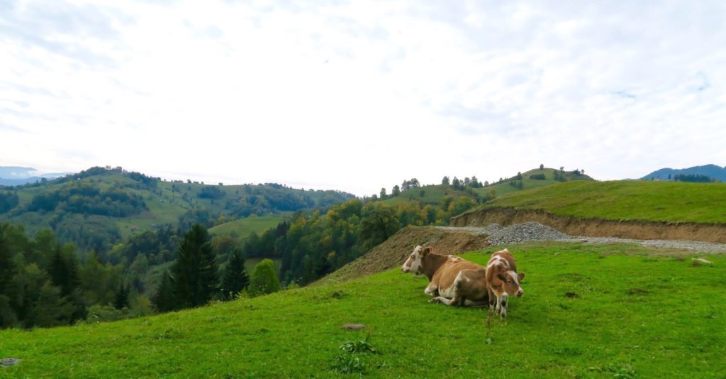 Mother and Calf in Pestera, Romania