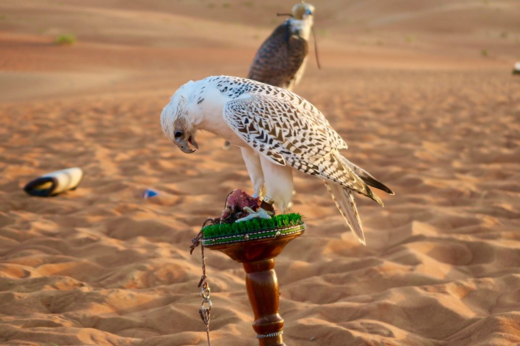 Falconry show. Qasr al Sarab Anantara