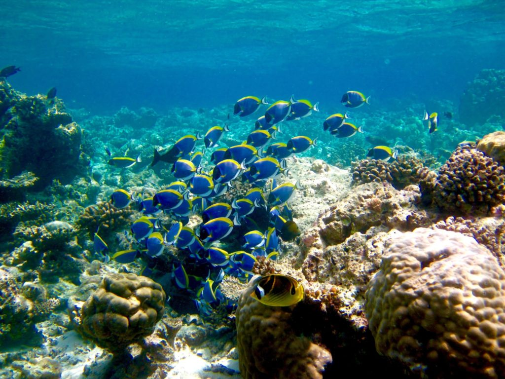 School of fish at the reef in Anantara Veli Maldives