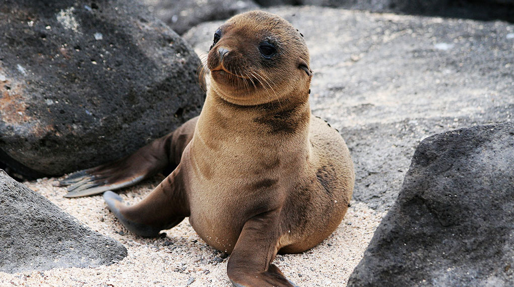 Galapagos Fur Seal!