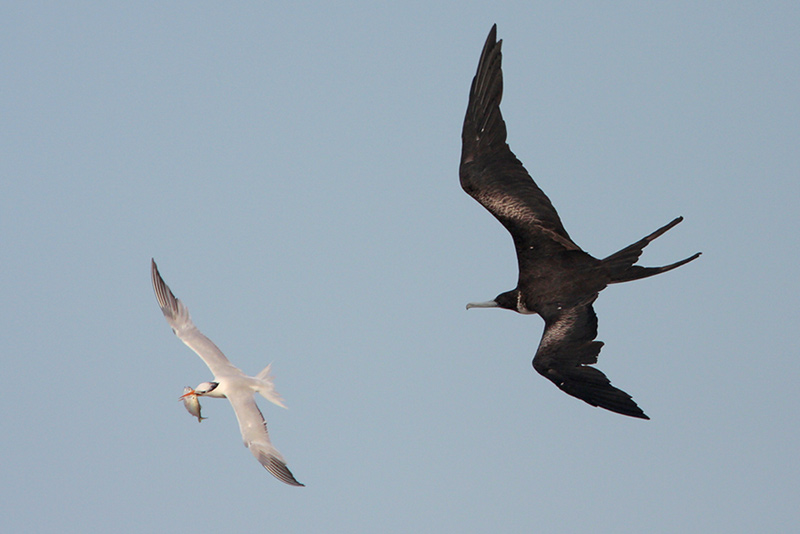 Frigatebird doing what it does best: stealing