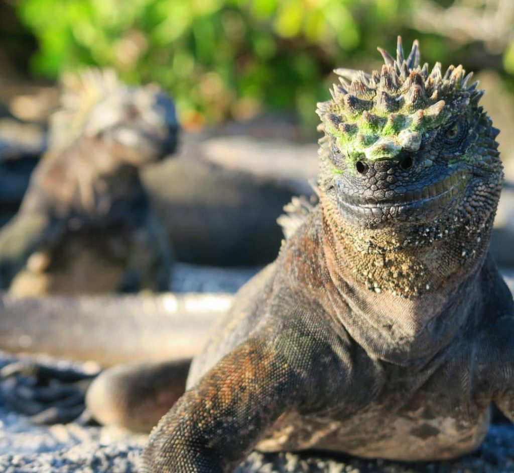 A tough looking Marine Iguana
