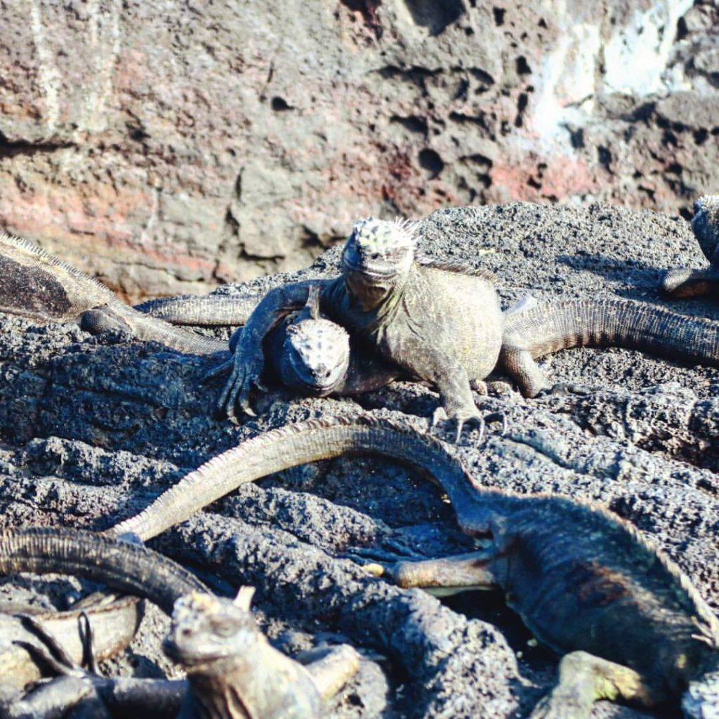 Marine Iguana BFF's in the Galapagos