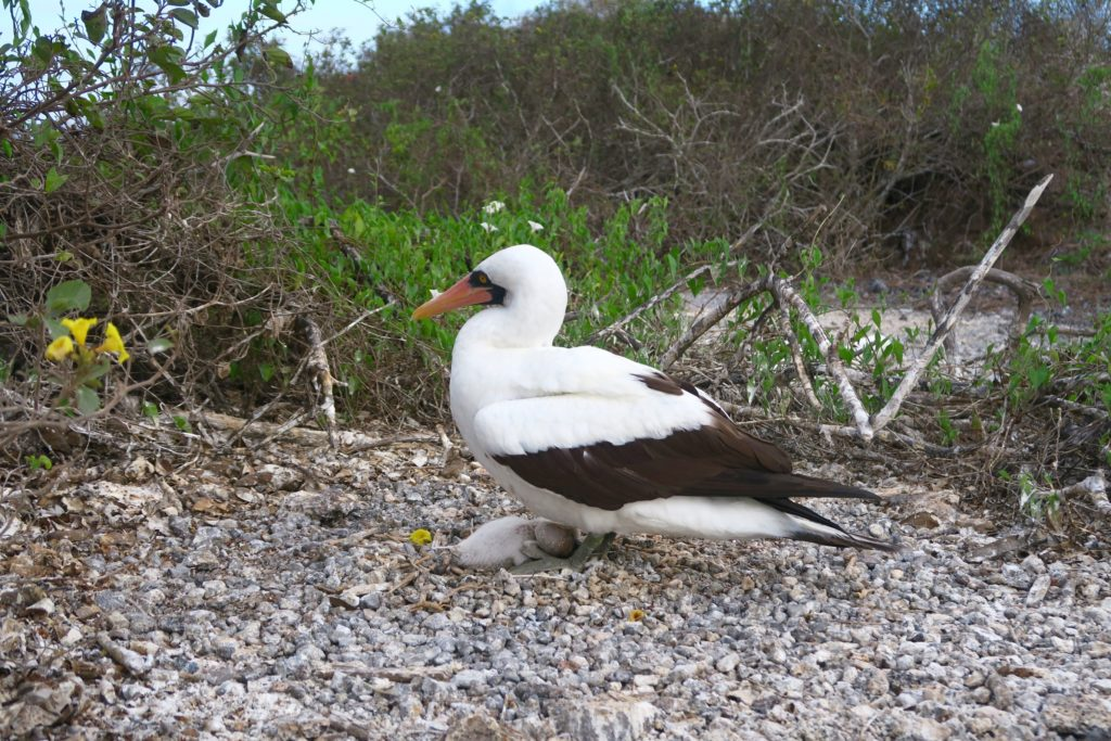 A Nazca Booby with her chick underneath (look closely!)