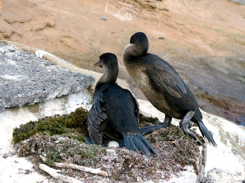 A pair of Flightless Cormorants in the Galapagos