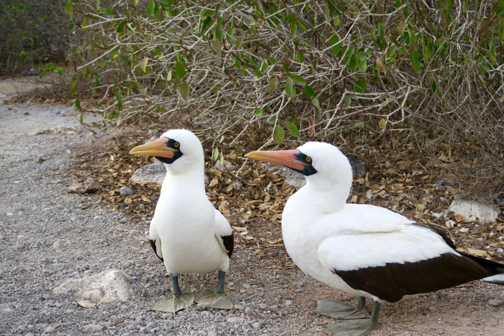 A pair of Nazca Boobies in Genovesa Island