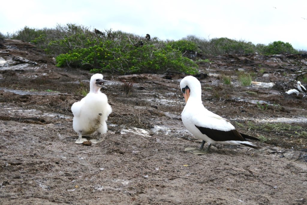 A Nazca Booby and her not so little chick