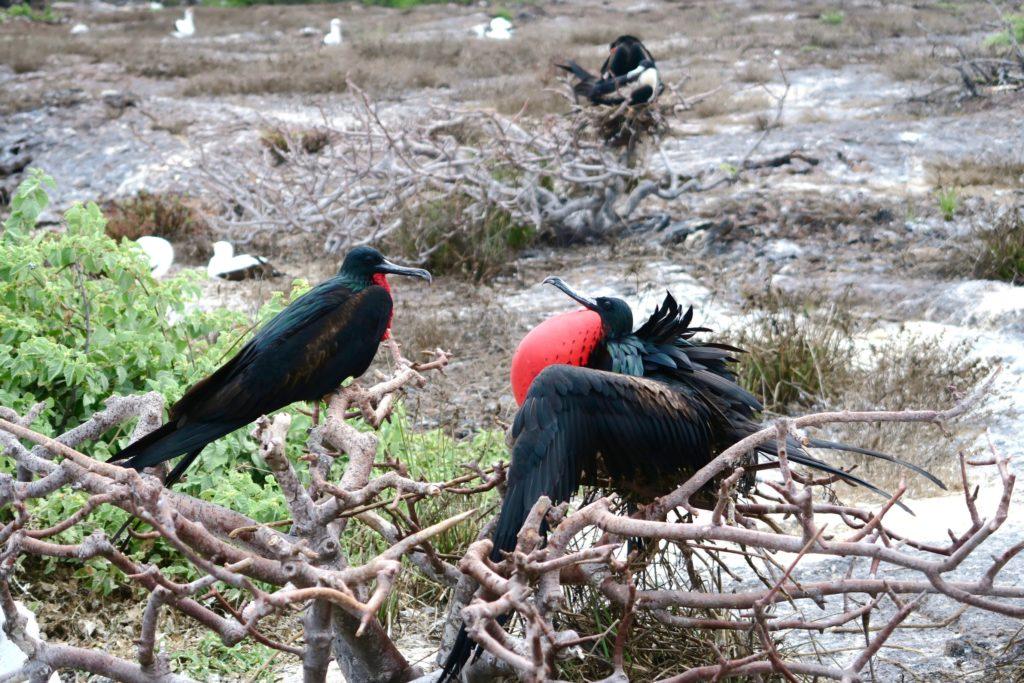 Frigate birds in Genovesa Island