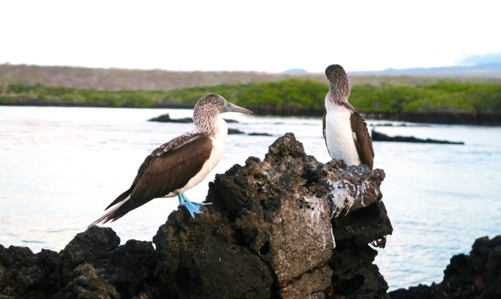A pair of Blue Footed Boobies in the Galapagos