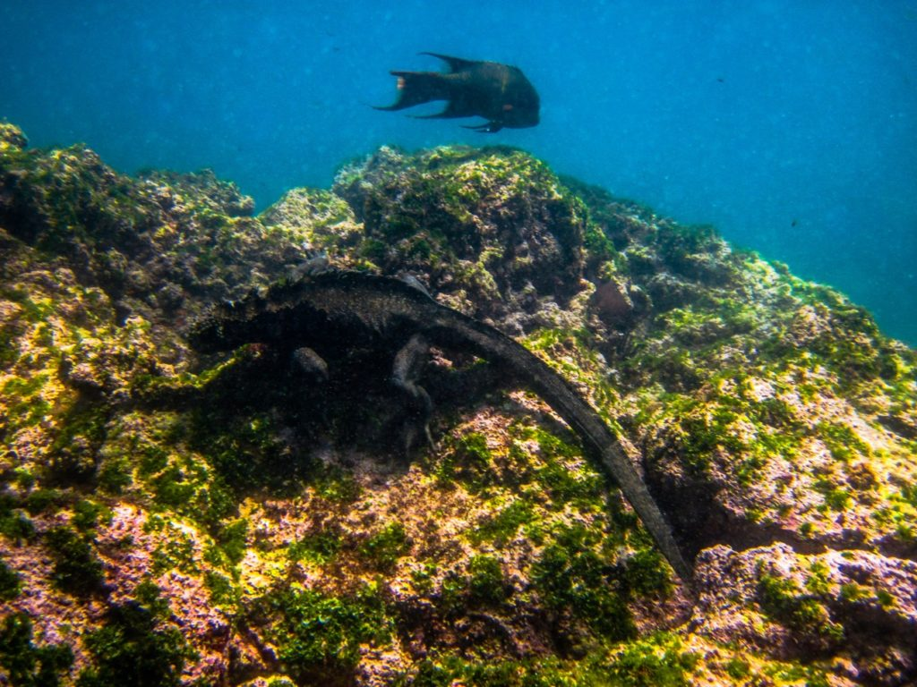 Marine Iguana swimming in the Galapagos