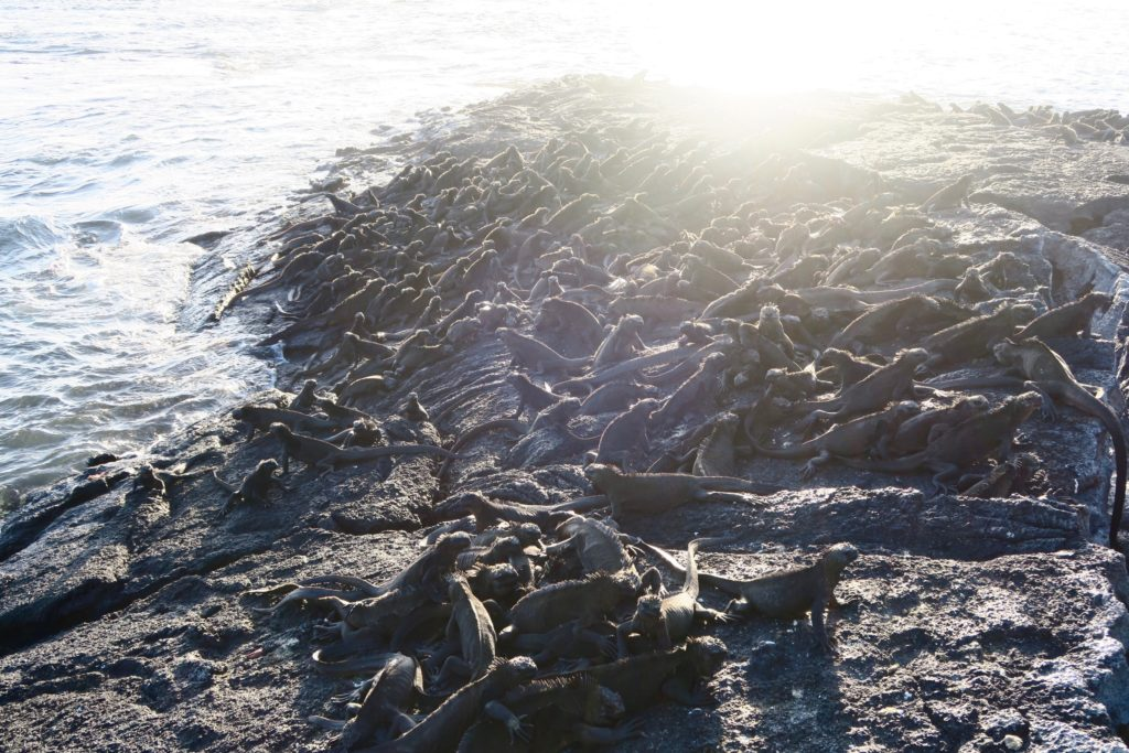 Marine Iguanas basking in the sun. Galapagos