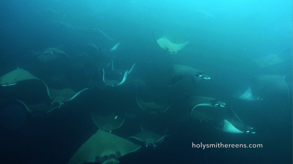 Stingray migration in the Galapagos!