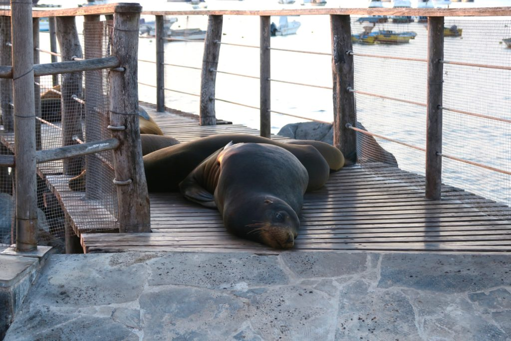 Sea Lions in Galapagos - aka myself at the end of a magical day in the Galapagos