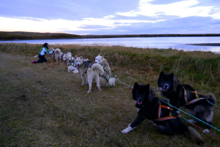 dogsledding in Iceland