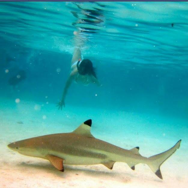 Swimming with sharks in Bora-Bora