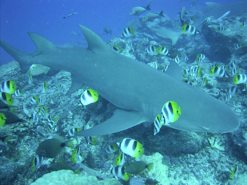 A shark in Rangiroa. Photo from Wikipedia