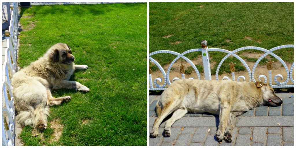 the dogs of Istanbul